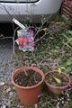 老爺柿の種蒔き