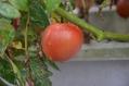 脇芽のトマトが赤くなりました。