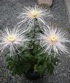 ダルマ作りの菊
