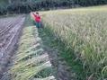 稲刈り準備