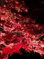 《紅こうよう葉見てきました。》