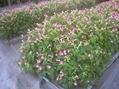 【園芸LOVE 原田が行く】咲こうとする花を摘み続けたら? ――「花を咲かせない」エディブルフラワーの不思議