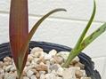 ラケナリア3種