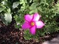 オキザリスが咲いてきました。