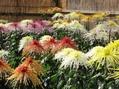 綺麗な花よ菊の花~♪
