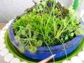 ベランダ園芸 草もの盆栽