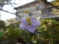 屋久島ノボタン、今年最後の花。