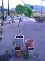 観葉植物 鉢増減(*^_^*)