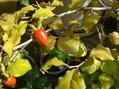 老爺柿(姫柿)の品種名について