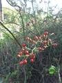 千日小鈴と赤い実