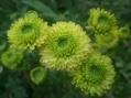 カラフルな菊