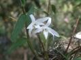 季節外れのセッコクが咲いています(カマキリがいます)
