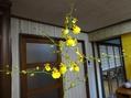 オンシジュームの開花