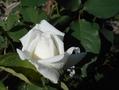 エレーヌジュグラリス初花です