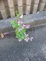 ちょこざいなやつ!      Part15   ど根性の花