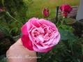 今日のバラ様と、嬉しい[i:72]
