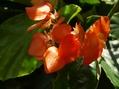 木立性ベコニアのオレンジが輝いてる~♪♪
