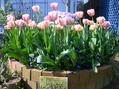 チューリップ花壇の3年間