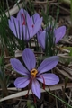サフランが咲き始めた