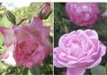 今日の秋薔薇2