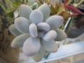 色白多肉植物たち