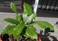 ミラクルフルーツ苗1年の成長