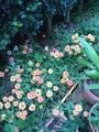 イオノプシジウム咲いてます!