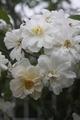 香りの良いバラが好き