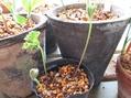 アネモネ・フルゲンス葉っぱがでた。