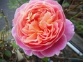 今日の薔薇②