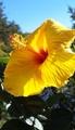 ハイビスカスが咲きました[i:232]