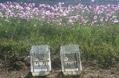 琵琶湖岸のコスモス畑で