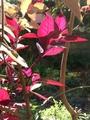 やっと、赤葉センニチコウ