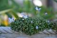 10月の庭から…狂い咲き