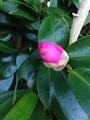 山茶花の季節です