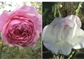 今日の薔薇1