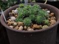 高山植物の植替え