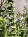 バジルの花穂