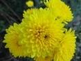 菊・黄色系