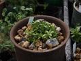 高山植物の植替え その2