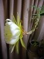 イエロードラゴン 開花[i:207]