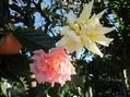 黄色とピンクのバラ