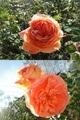 四季咲きバラ ちらほら