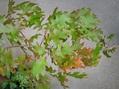 レッドオークの紅葉