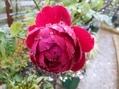 雨の中の薔薇。