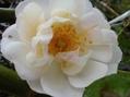 今日の一押しの薔薇