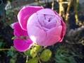 今日の薔薇。