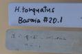 クリスマスローズの原種(H.トルカータス・ボスニア)