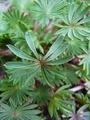 葉を楽しむオキザリス
