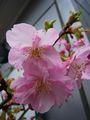 河津桜 開花